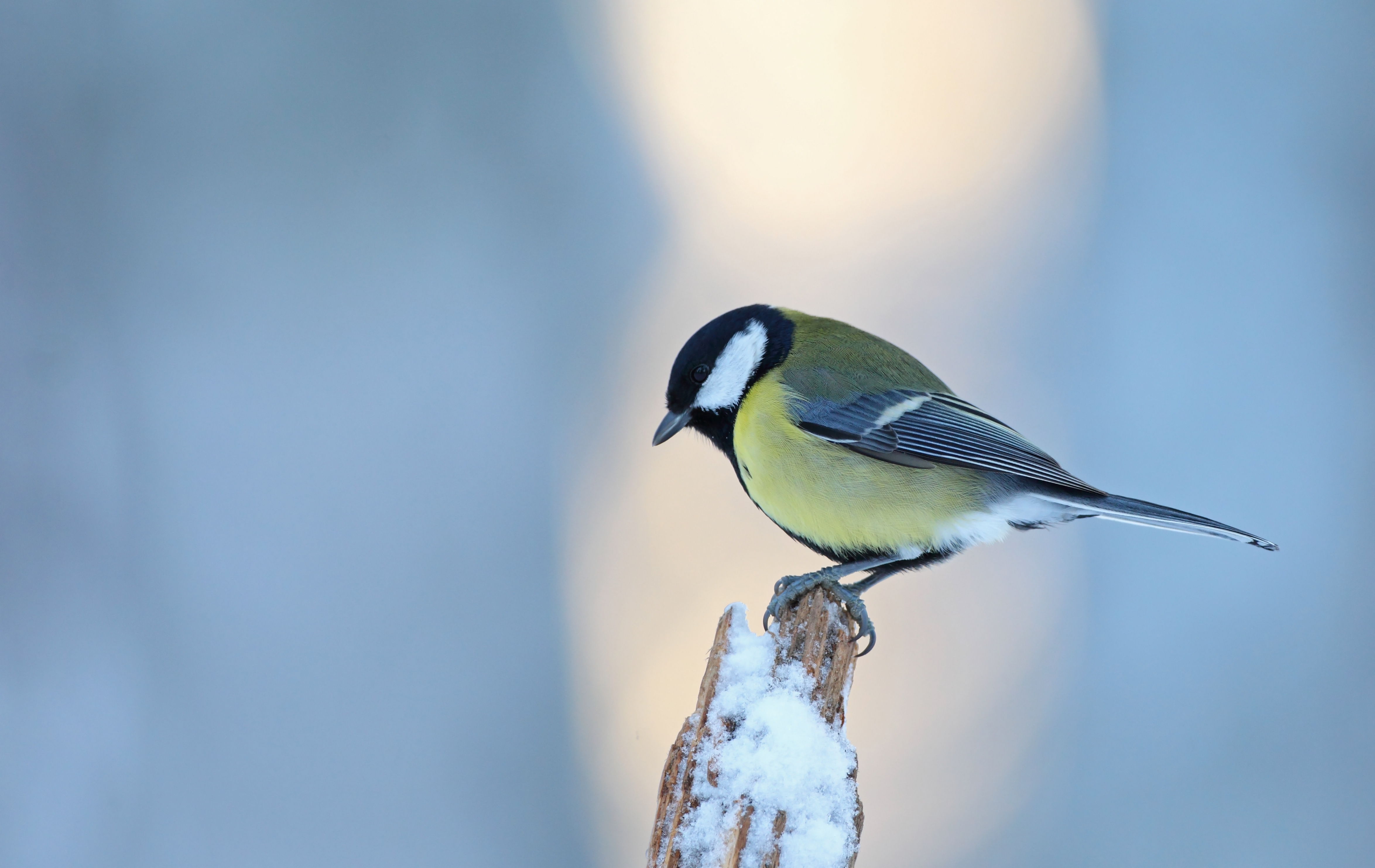 Vinterfåglar räknas
